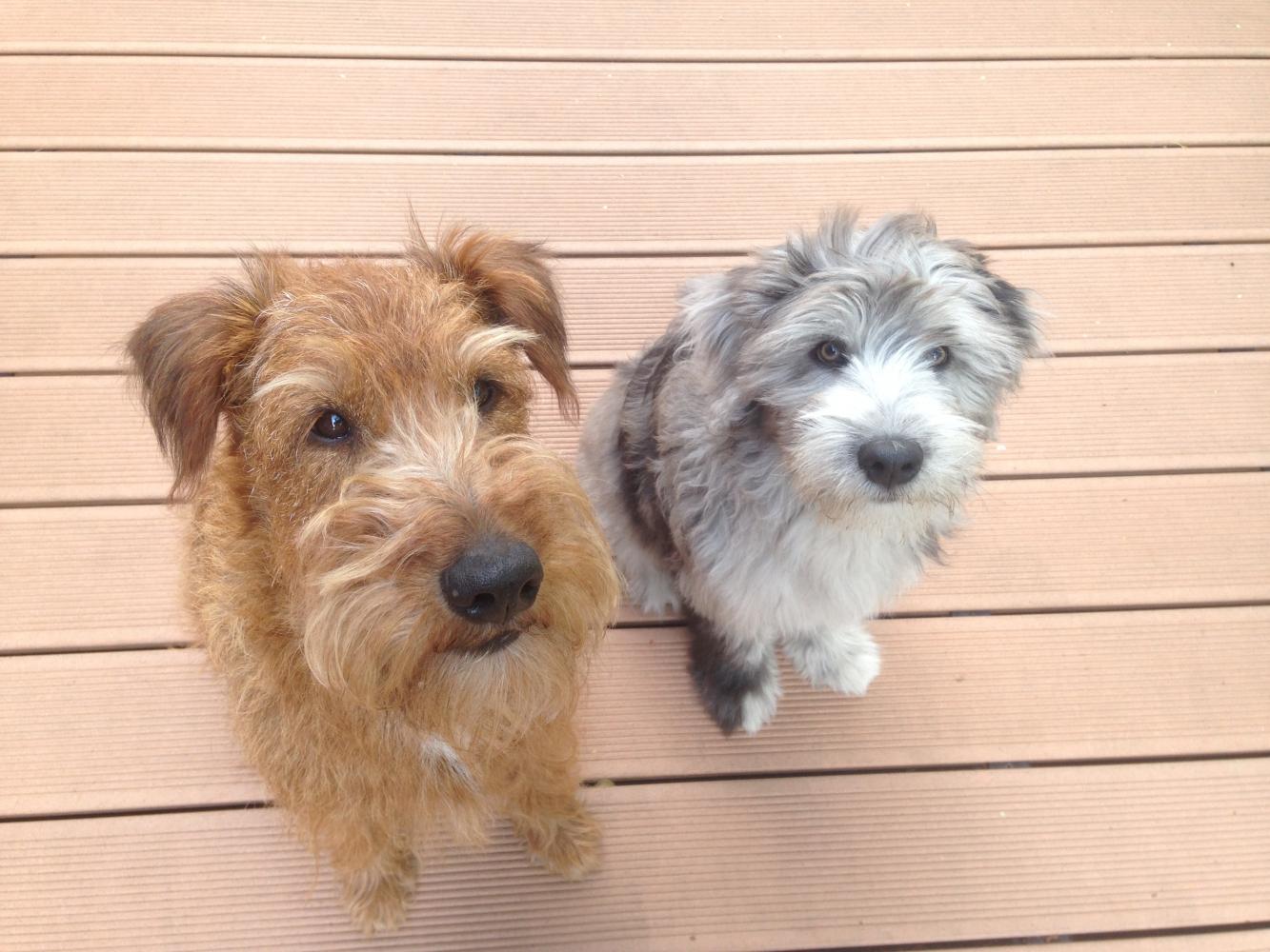 der Irish Terrier Kumpel und Bergi Vino