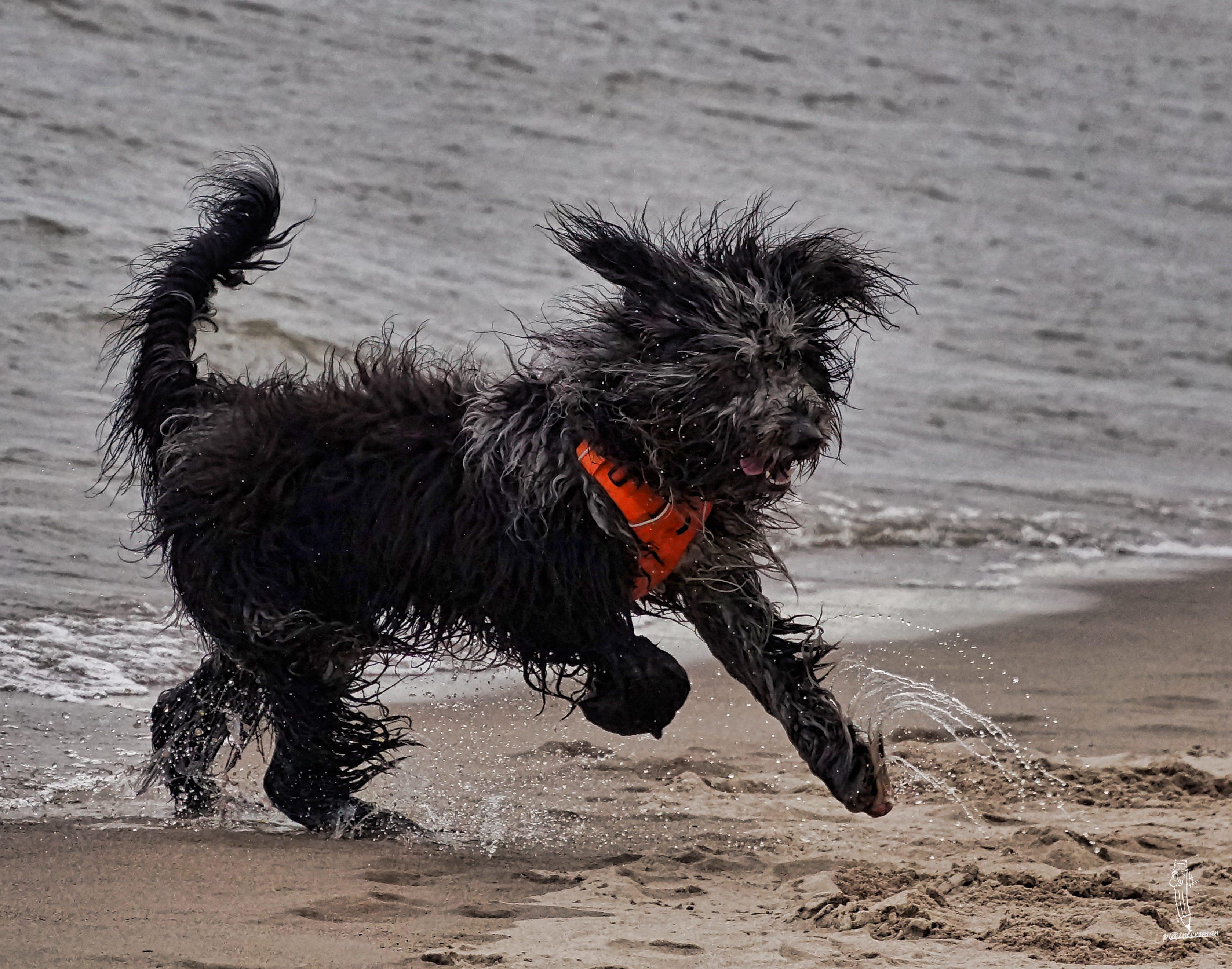 Bergamasker Hirtenhund
